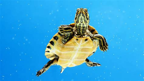 water turtle what s an aquatic turtle pet turtles youtube