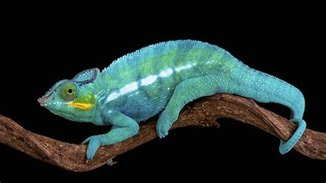 Madagascar's Panther Chameleon Is Really 11 Separate