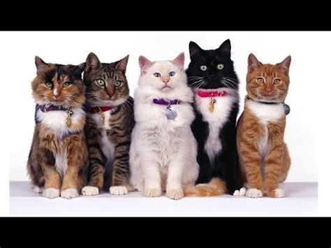 cat breeds az all cat breeds list a to z funnycat tv