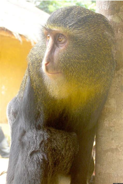 Cercopithecus Lomamiensis Lesula, New Primate Species With Blue Buttocks, Discovered In Congo