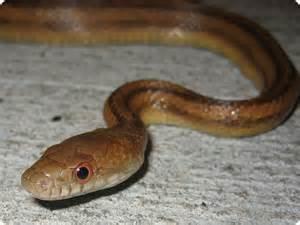 Common Florida Snakes