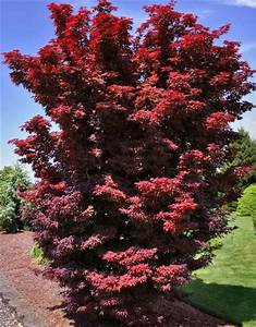 Acer Palmatum 39 Twombly 39 S Red Sentinel 39 Japanese Maples
