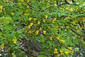 Busch Mit Gelben Blüten : bl hende akazie mit gelben bl ten und gr nen bl ttern stockfoto colourbox ~ Frokenaadalensverden.com Haus und Dekorationen