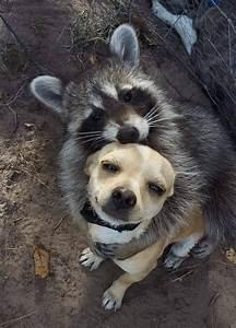 meme generator raccoon hugging newfa stuff