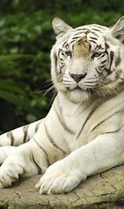 tiger animals nature white tigers Wallpapers HD / Desktop ...