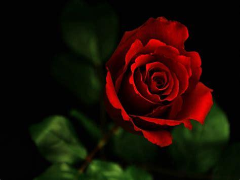 Red Rose Desktop Hd Wallpapers