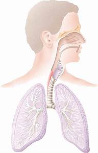 Unlabeled Diagram Of The Respiratory System
