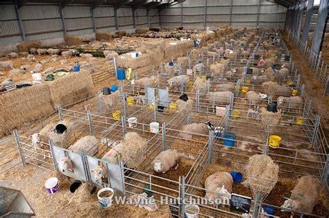 shed for sheep wayne hutchinson photography shorn sheep house goat