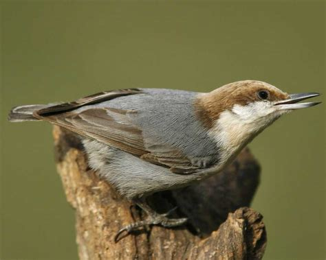 brown headed nuthatch audubon field guide