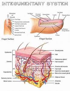 Face Skin Medical Terminology Diagrams