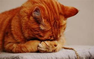 how are cats cat anxiety remedies a comprehensive guide