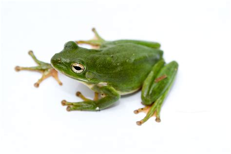 tree frogs american green tree frog wikipedia