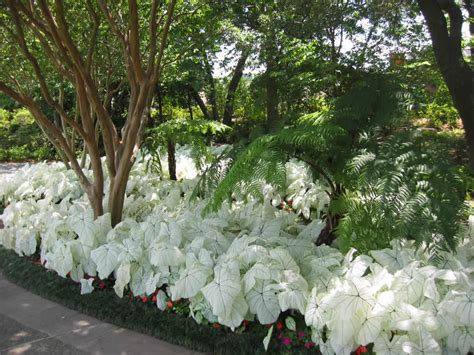 caladium varieties  display   dallas arboretum