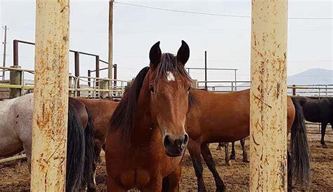 wild ally garden horses devil territory horse campaign american sheedy