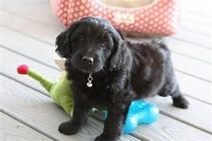Teacup Labradoodle & Mini Labradoodle Puppies for sale ...