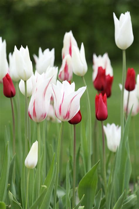 25 best ideas about white tulips on white
