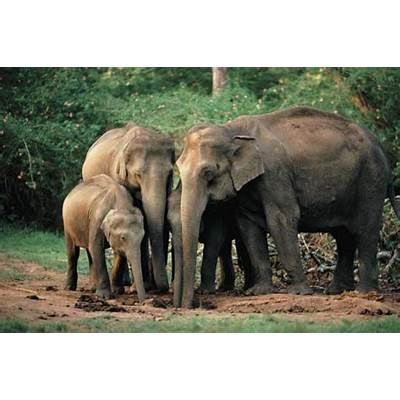 Asian ElephantAnimal Wildlife