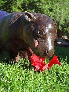South Africa's Rare Pygmy Hippo weighs-in at 10kgs ...