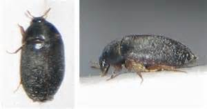 Beetles Crawling In My Carpet Home Depot Carpet Protector Saxony Carpets Uk Allergic To Cleaner Rental Tucson Pad Under Area Rug Ebay Tiles Galway And Centre Mytee Extractors