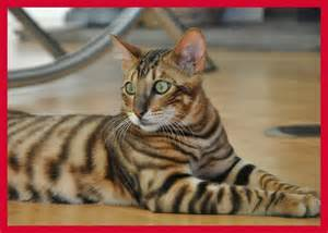 toyger cat toyger cat critters