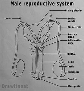 Easy Steps To Draw Human Male Reproductive System  Class