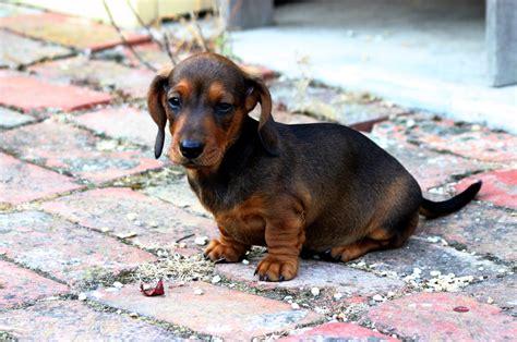 Filesmooth Miniature  Ee  Dachshund Ee   Puppy Jpg