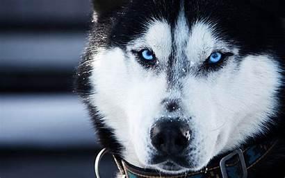 Siberian Wallpapers Huskies Husky