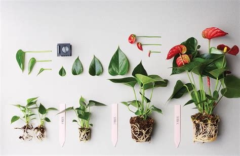 Anthurie Braune Blätter by How To Prune An Anthurium Plant