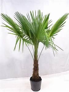 Trachycarpus Fortunei Auspflanzen : winterharte palme trachycarpus fortunei 180 200 cm stamm 50 cm 17 c ~ Eleganceandgraceweddings.com Haus und Dekorationen