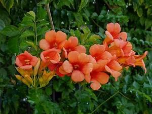 Kletterpflanzen Mehrjährig Winterhart : galerie mediterrane kletterpflanzen sonnenliebende kletterer ~ Michelbontemps.com Haus und Dekorationen