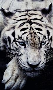 white-tiger-animal-iphone6-plus-wallpaper - Mobile ...
