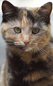 Haired cat breeds