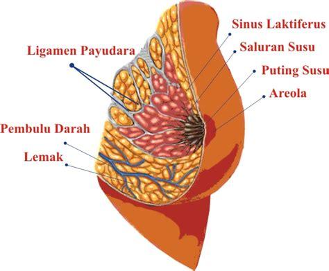 Wanita Menyusui Bisa Hamil Anatomi Payudara Wanitadokter Kandungan Tanda Kehamilan