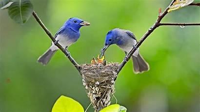 Birds Feeding Wallpapers Bird Desktop Nest Babies