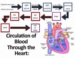 File Circulation Of Blood Through The Heart Jpg