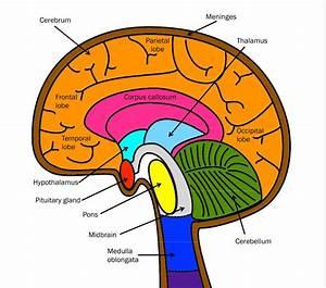 Nervous System Coloring  Label Key  U2013 Mrs  Derochers U0026 39  Super