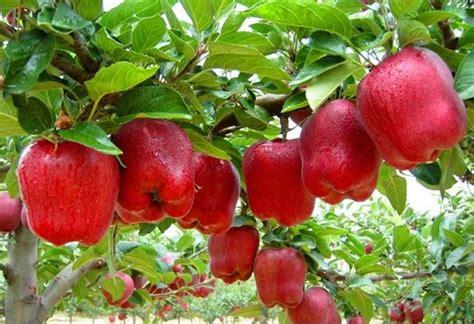 Gugur Kandungan Mengenal Tanaman Buah Apel Serta Manfaatnya Bagi Kesehatan