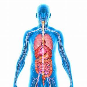 Human Internal Organ Stock Photos  Pictures  U0026 Royalty