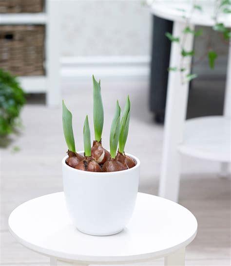 Tulpen Im Topf In Der Wohnung by Gef 252 Llte Tulpe Im Topf Gelb 1a Zimmerpflanzen