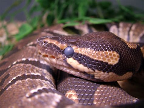 ball python eyes quotes