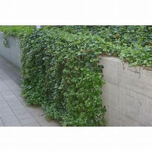 Efeu Pflanzen Kaufen : hedera helix kriechendes efeu kaufen bei pflanzen ~ Buech-reservation.com Haus und Dekorationen