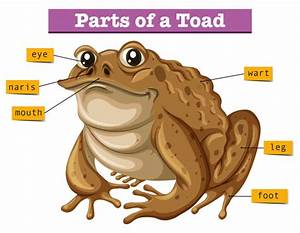 Diagram Showing Parts Of Toad Vector