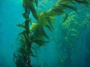 Is kelp algae