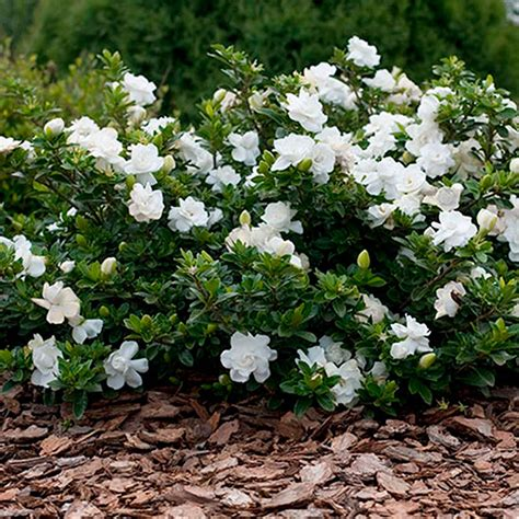 gardenia in a pot 1 x gardenia jasminoides crown cape evergreen shrub plant in pot ebay