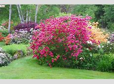 Azaleas and Rhododendrons What is the Difference?