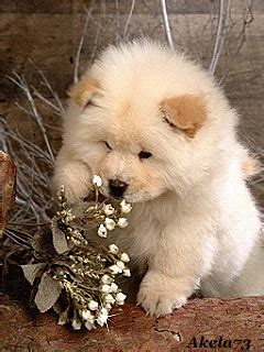 fluffy puppy smelling flowers pictures   images