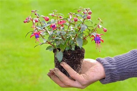 piante con fiori fucsia fucsia pianta piante annuali caratteristiche della fucsia
