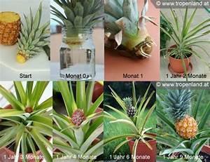 Avocado Baum Pflege : ananas selbst ziehen pflanzen ~ Orissabook.com Haus und Dekorationen
