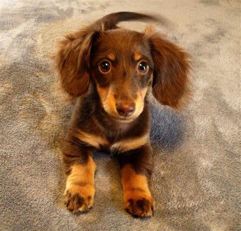 Images Of Wiener Dogs 50 Unique Puppy Wiener Dogs Puppies
