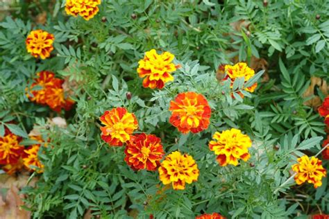 French Marigold Plants Huge, What To Do?